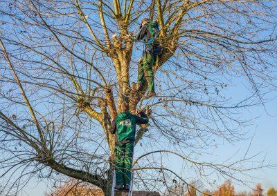 Ein Baum wird von zwei Mitarbeitern geschnitten